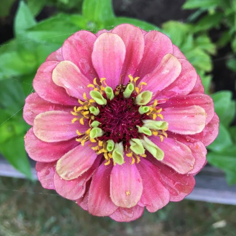 Zinnia - Queen Lime Small.JPG
