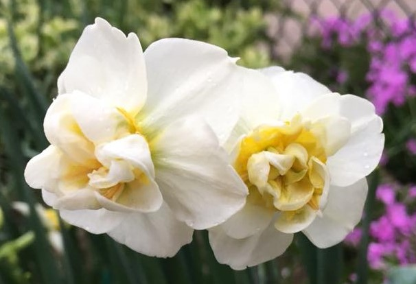Daffodil Tete a Tete (2).jpg