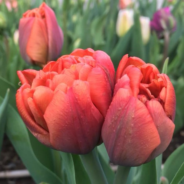 tulip Orcas.jpg