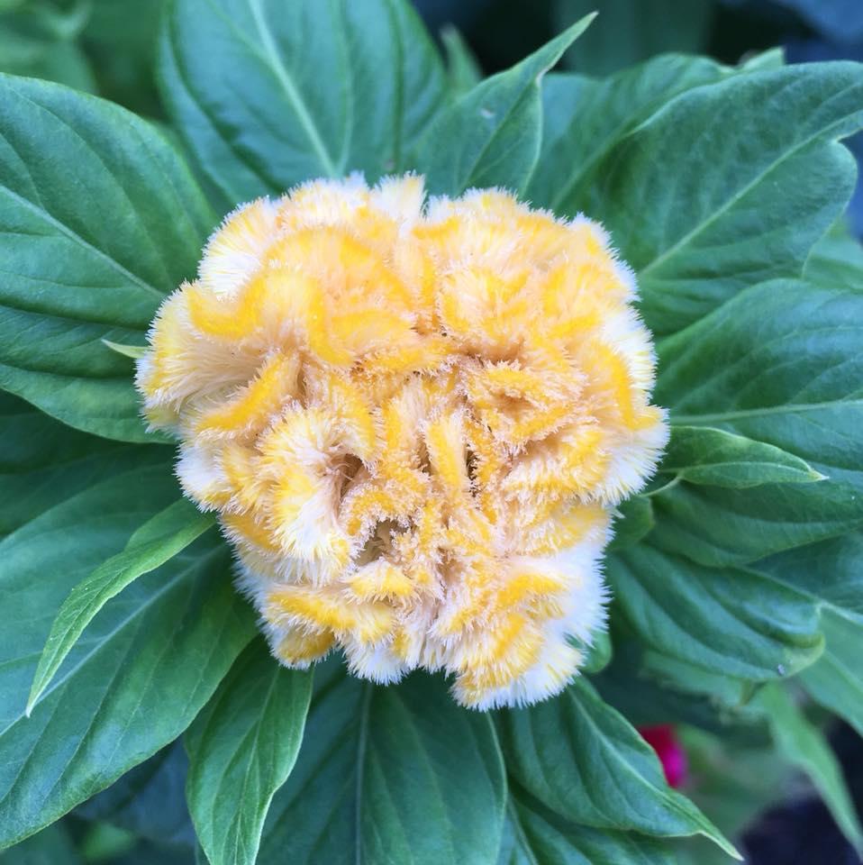 Celosia Yellow.jpg