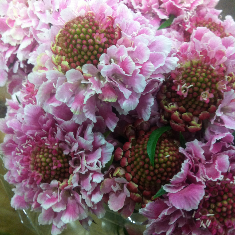 Scabiosa.png