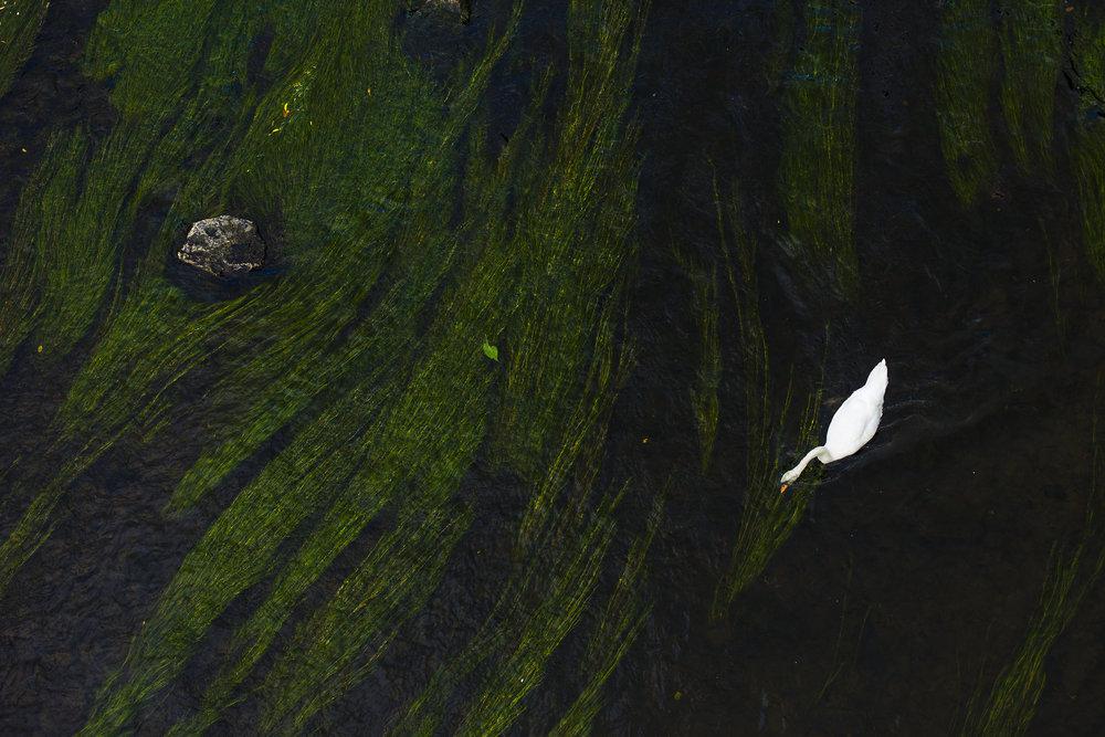 Swan, River Wye