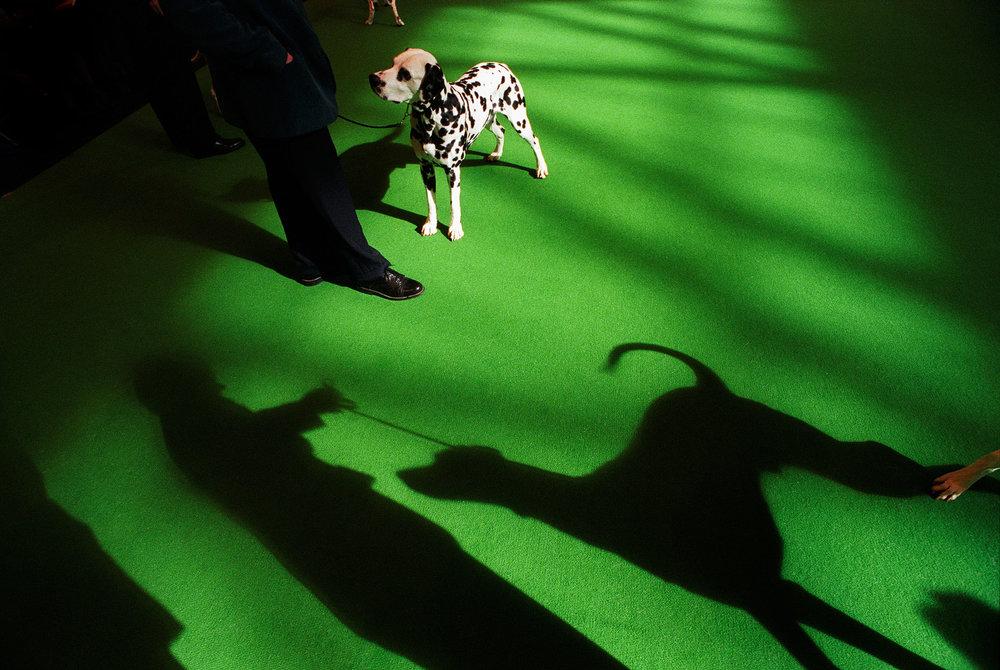 Dalmation at Crufts international dog show
