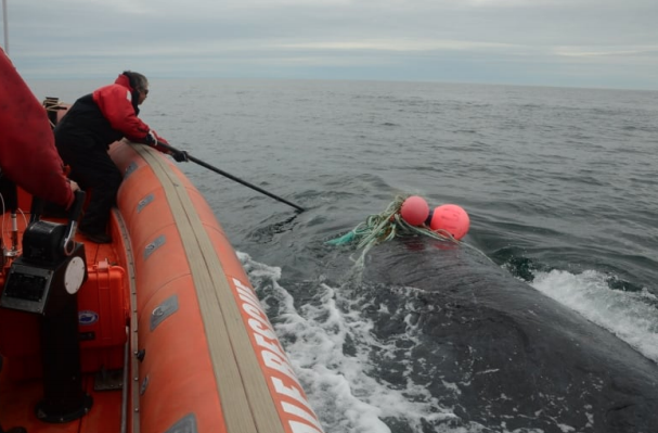 """Joe Howlett uses a cutting tool to free a whale from fishing gear on a 2016 rescue with the Campobello Whale Rescue Team. (Canadian Whale Institute/New England Aquarium)"""