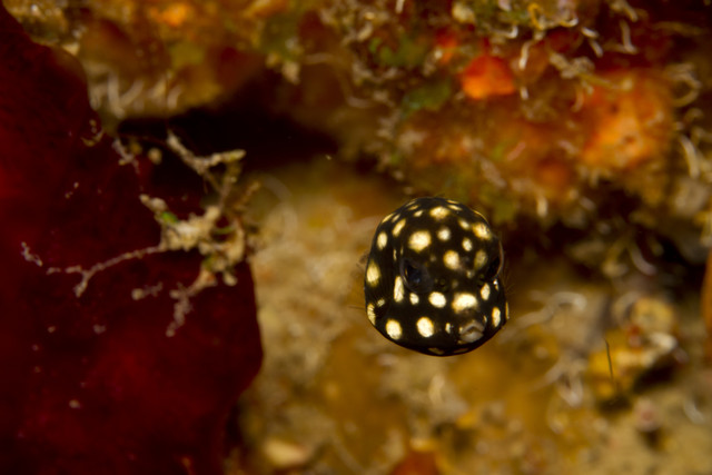Smooth Trunkfish (post-larval stage) Photo by Ktuli Photography