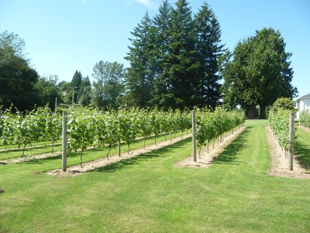 Grape rows at Mt. Lehman Winery located in Abbotsford, BC- the Fraser Valley.