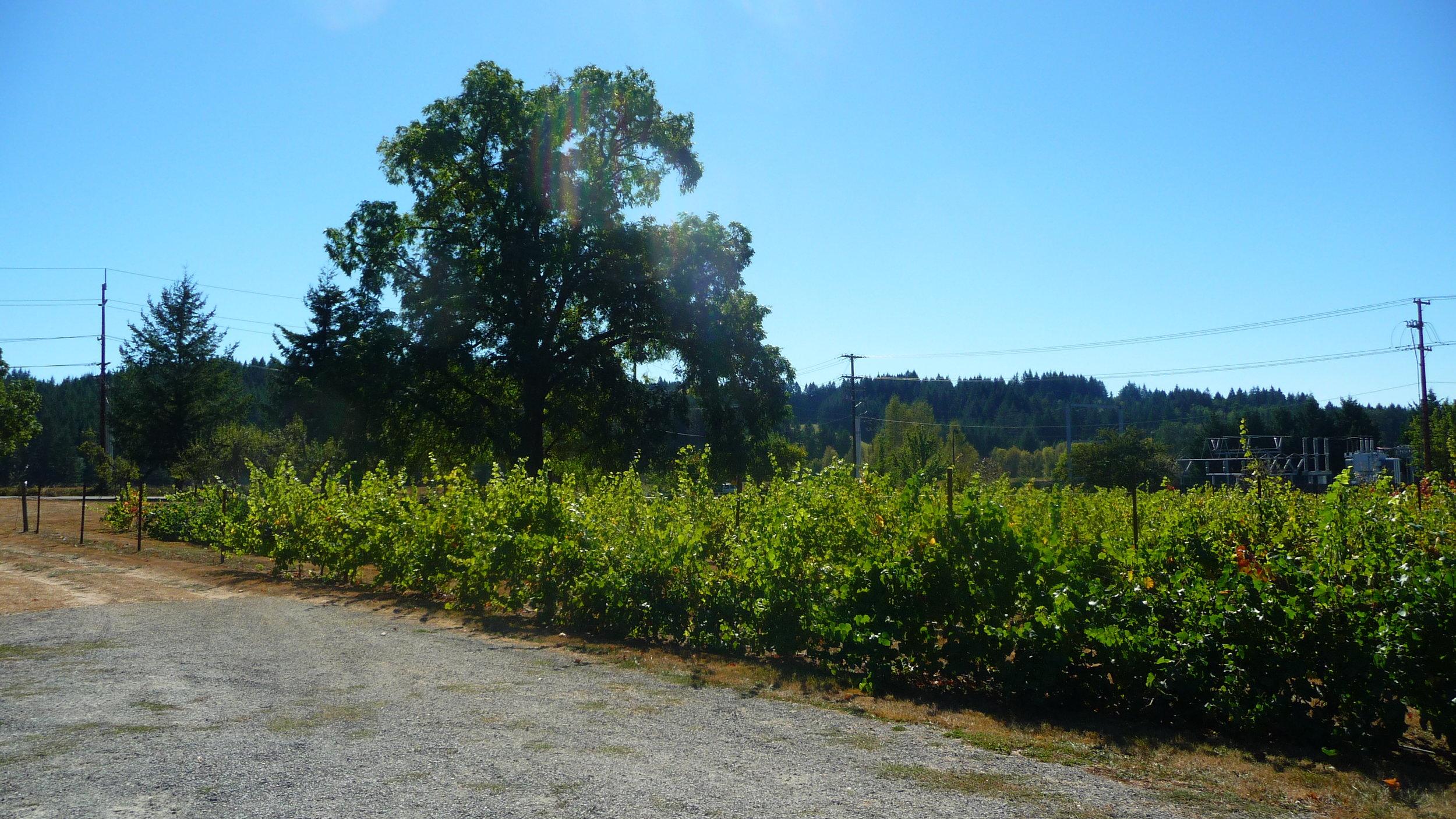 Vines at Heisen House Vineyards in Battle Ground
