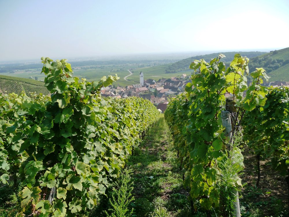 Vineyards stand as sentries over the picturesque hamlet of Katzenthal along the Alsatian wine route in north-eastern France. Courtesy of Viki Eierdam.