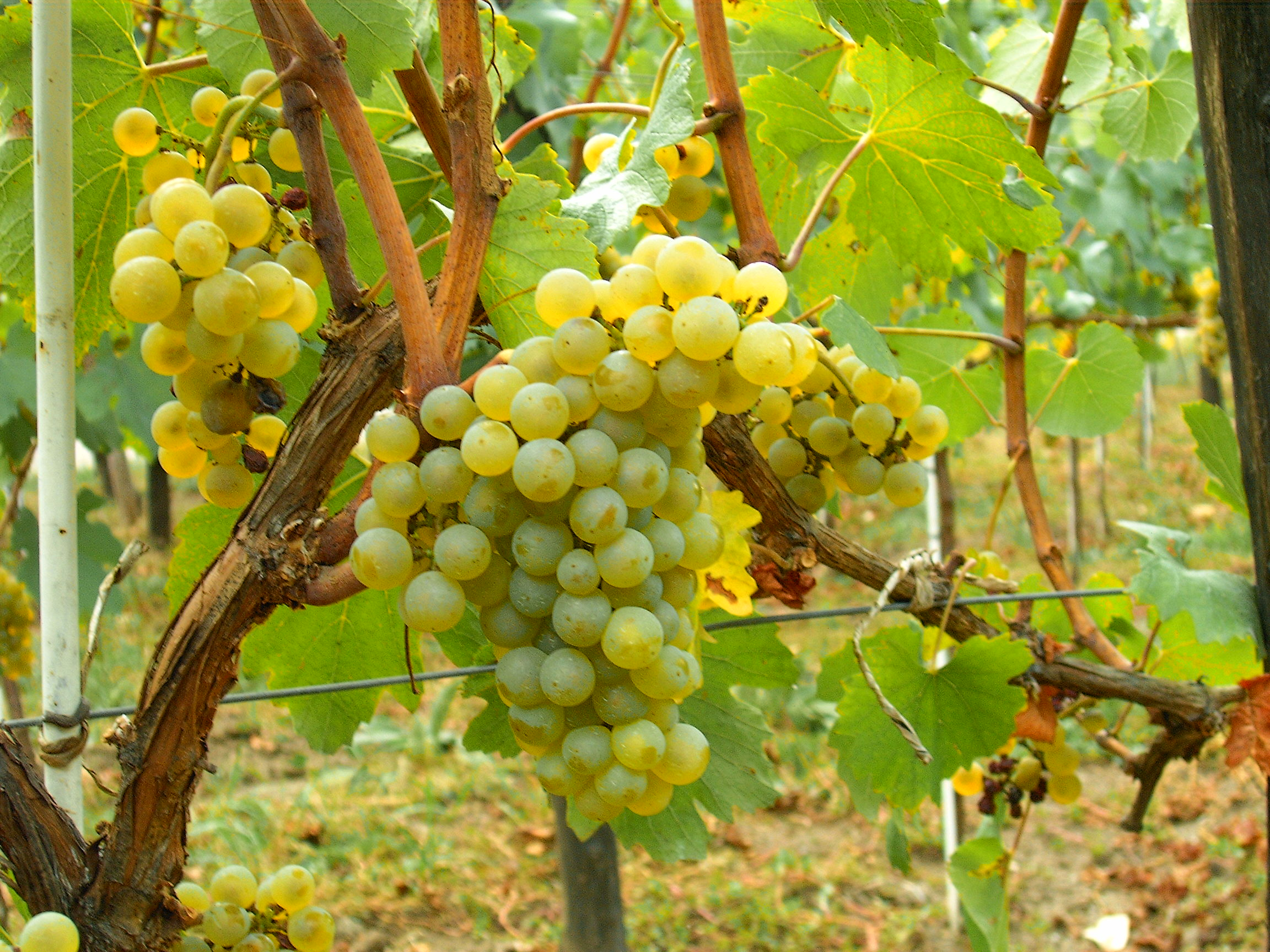 Chardonnay can grow in cool, moderate and hot regions, including the Eastern European country of Moldova where its climate has been compared to southern Burgundy.  Courtesy of wikimedia.