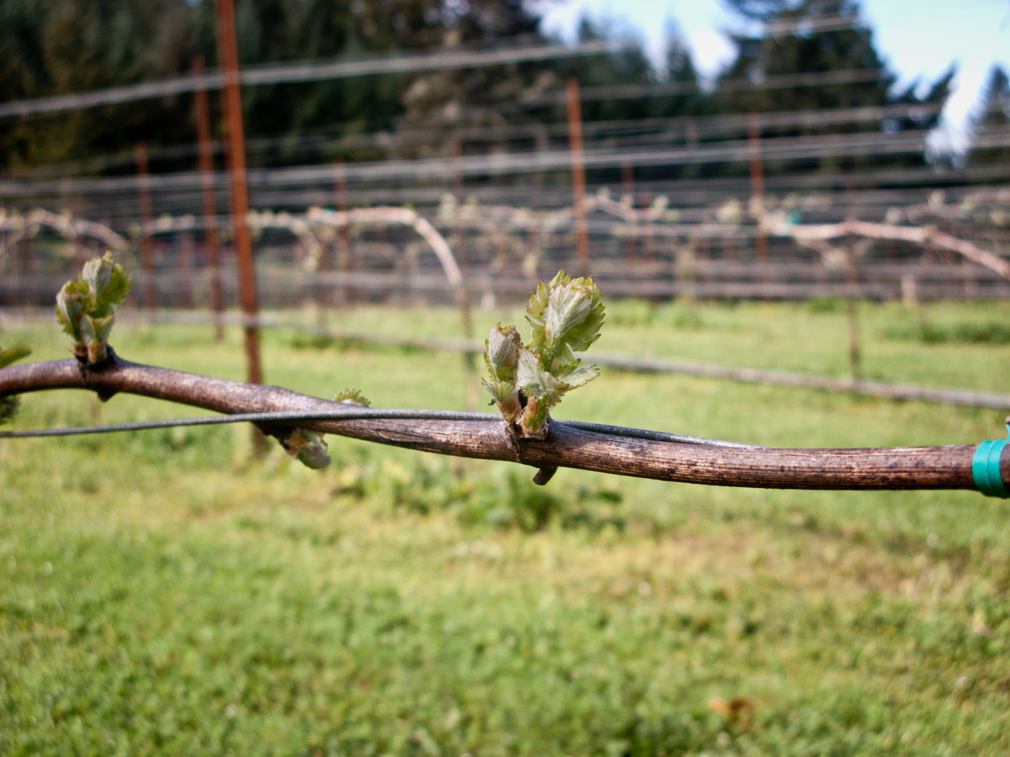 "Another reason for grafting over is in the case of not knowing when bud break is. If a varietal sensitive to frost is planted in a ""little hollow"" of a vineyard, the winemaker might regraft with one that breaks bud two-three weeks later like syrah. syrah bud. Photo courtesy of Reustle-Prayer Rock Vineyard."