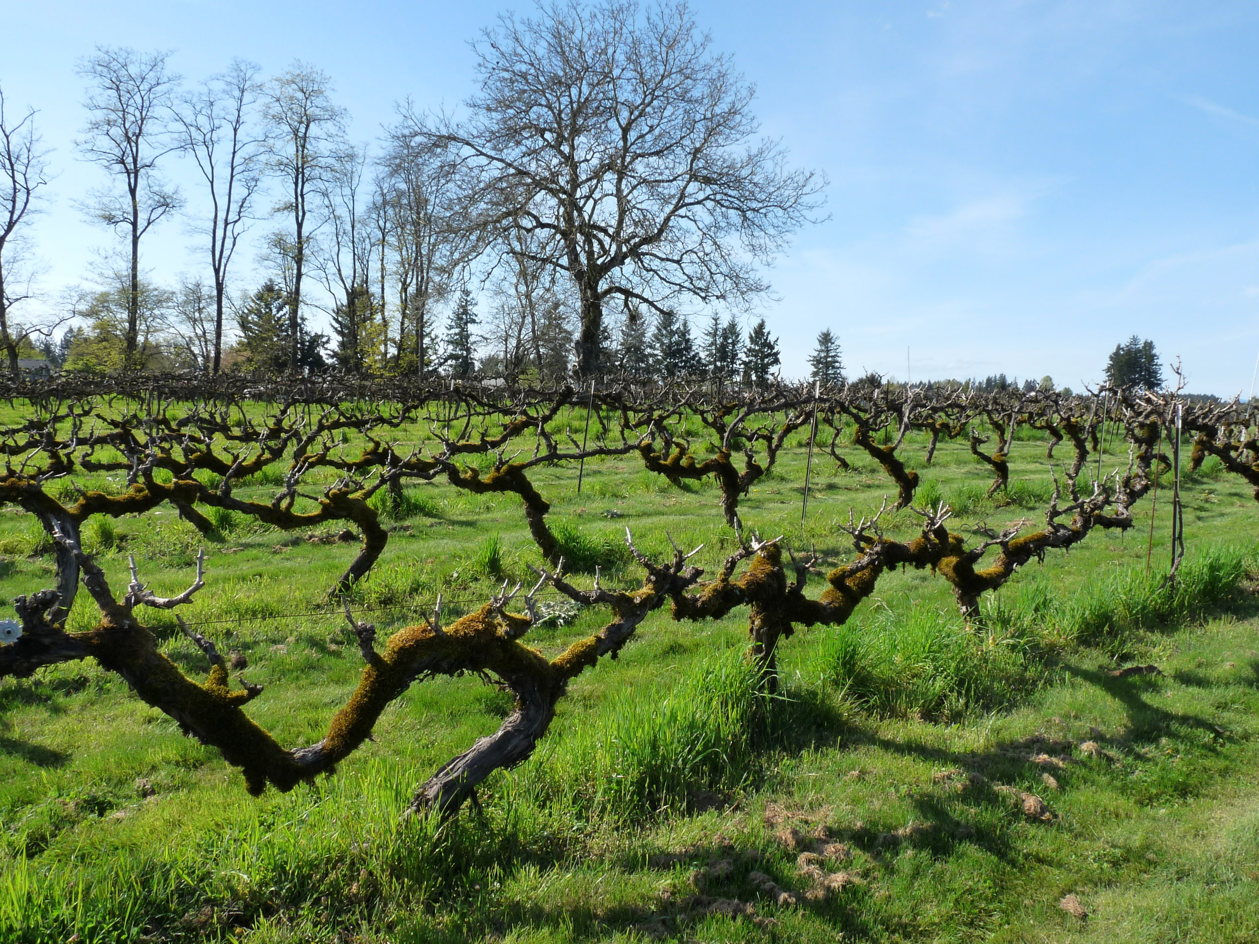 Today visitors to English Estate Winery can enjoy the fruits of 35-year old pinot noir vines planted in Clark County and that is thrilling! Photo courtesy of Viki Eierdam.