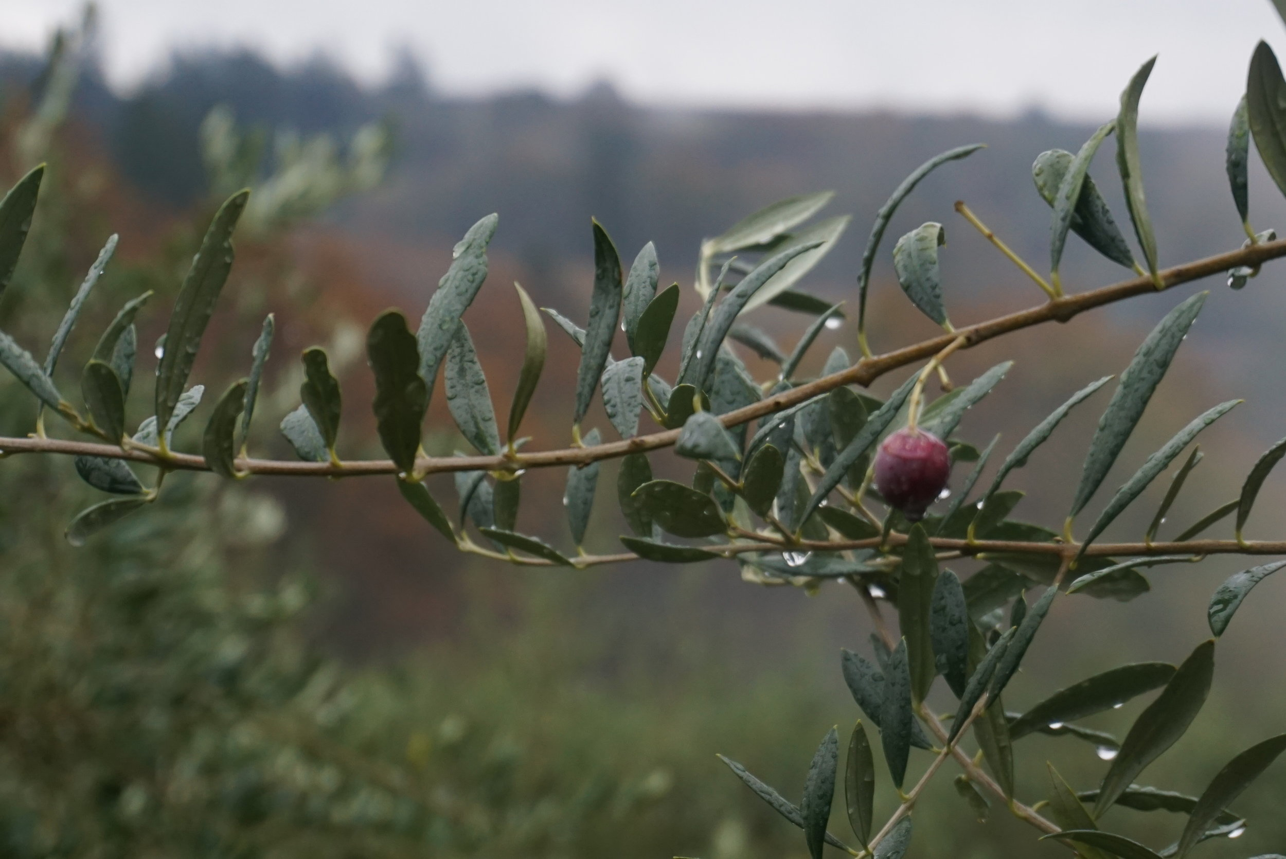 Oregon Olive Mill, the first commercial olive mill in the Northwest, seeks to propagate cold-climate olive trees in a similar vein to Lett and Erath of Oregon pinot noir fame. Photo courtesy of Dan Eierdam.
