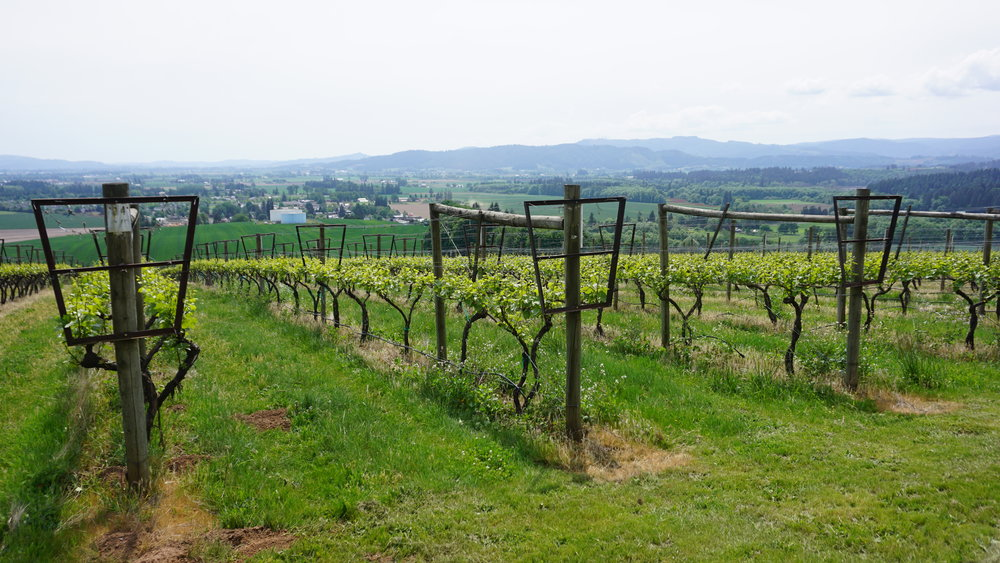 The vines of Woven Wineworks and Covey Ridge Farm and Vineyard are trellised in a manner that makes them truly special. Dan Eierdam