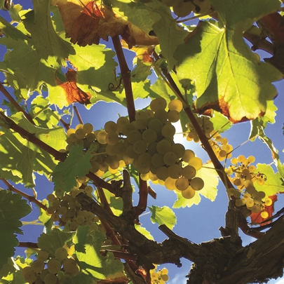 Sunlight through the vines. Courtesy of SW Washington Winery Assn.