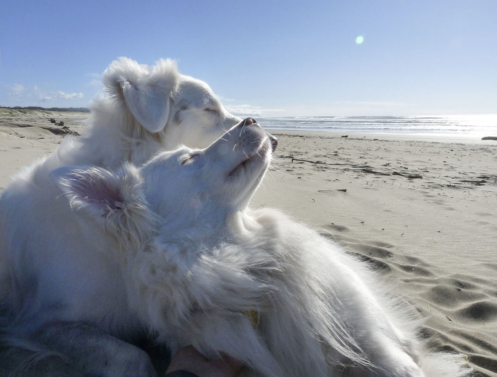 Challenge and Baby Girl like a beach sunset as much as the next dog couple. Dan Eierdam