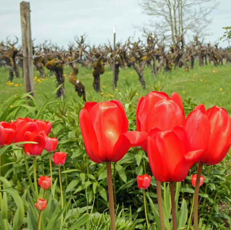 Tulips and vines at English Estate Winery. Courtesy photo