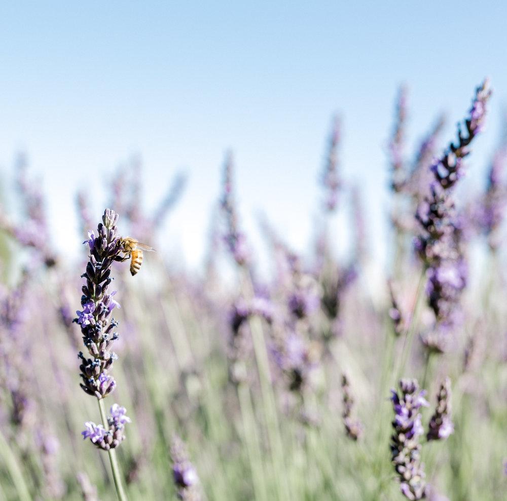 Lavender Fest.jpg.jpg