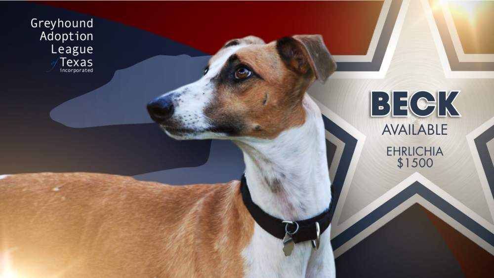 Greyhound Adoption League of Texas - Injured Reserve Greyhound with medical needs.