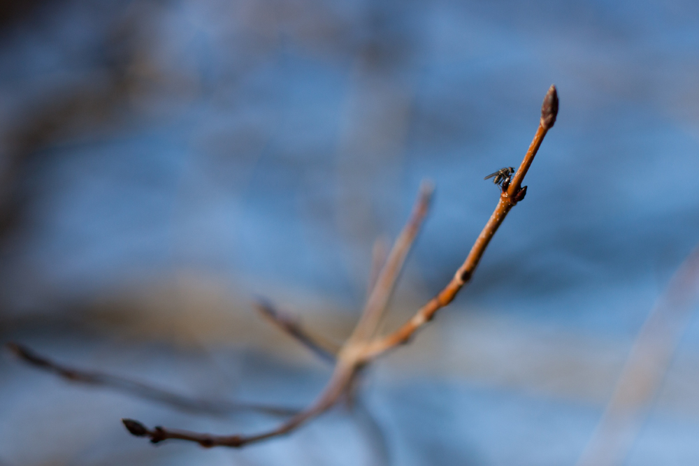Beginning of Maple Syrup Season, the buds are closed.