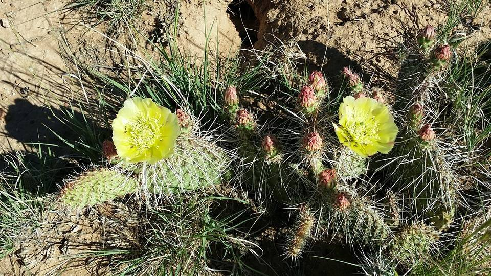 Cactus Blossoms on Morning Walk