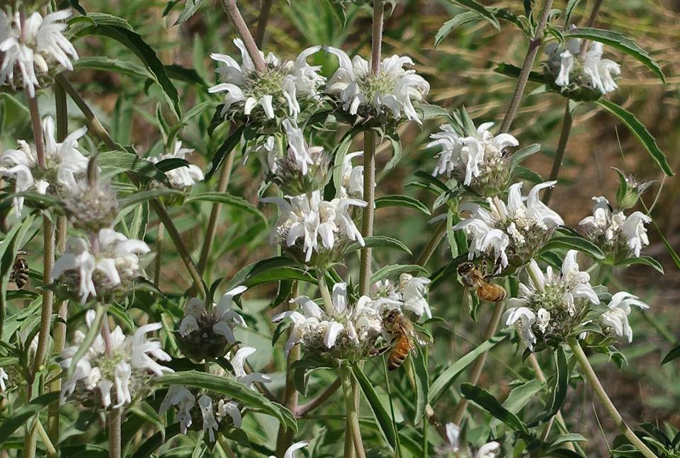 Bees on Pony Beebalm