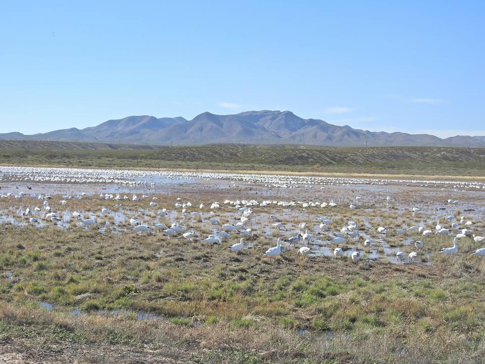Bosque del Apache Birding