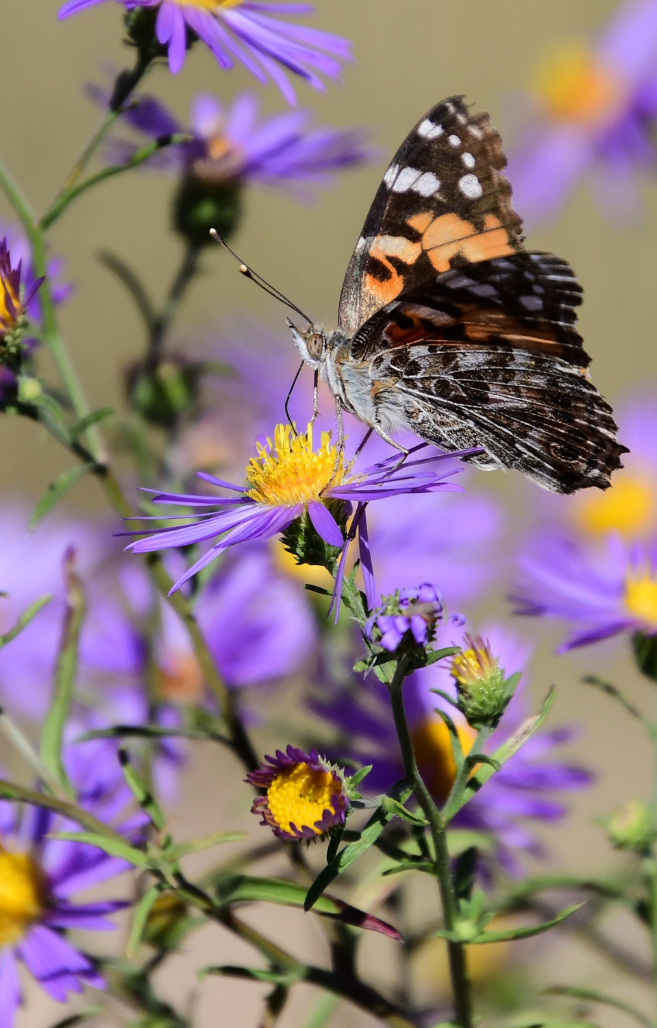 Painted Lady on Purple Aster