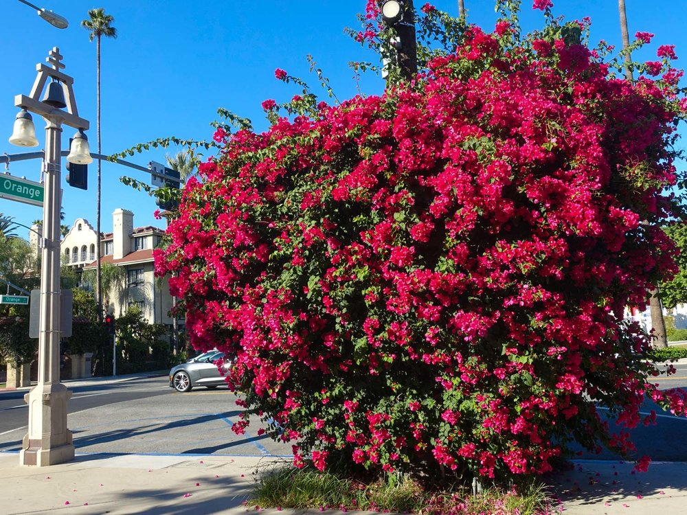 Bougainvillea and Raincross Bell Lamppost