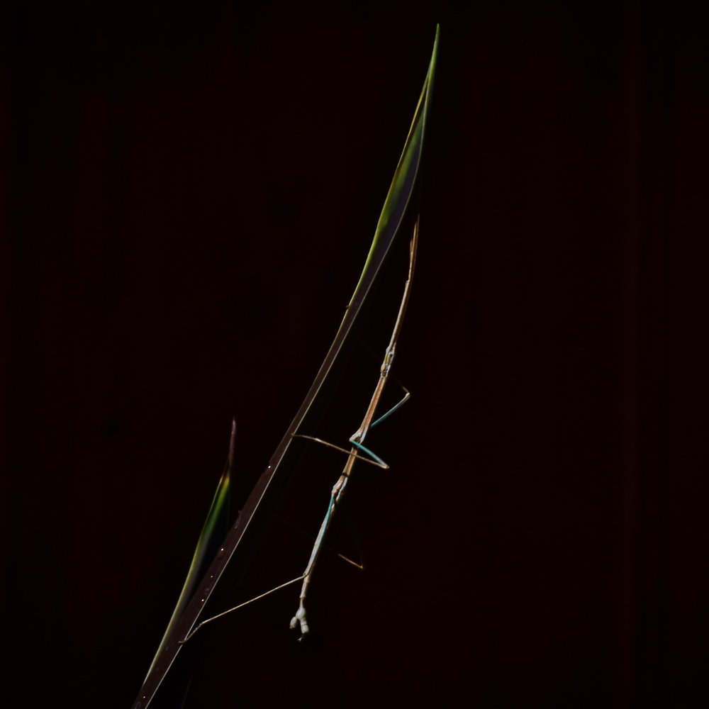 Prairie Walkingstick
