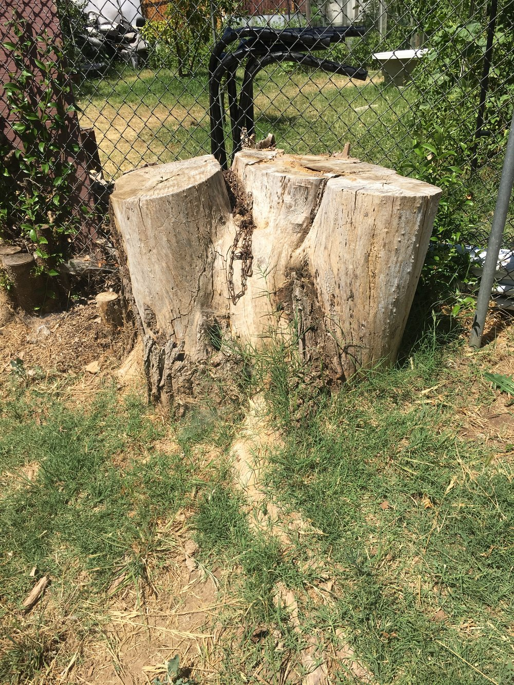 - Here's the really big stump, all snuggled up to the chain link fence. There's also a slightly smaller stump in the middle of the yard, but I don't have a good before pic of it.