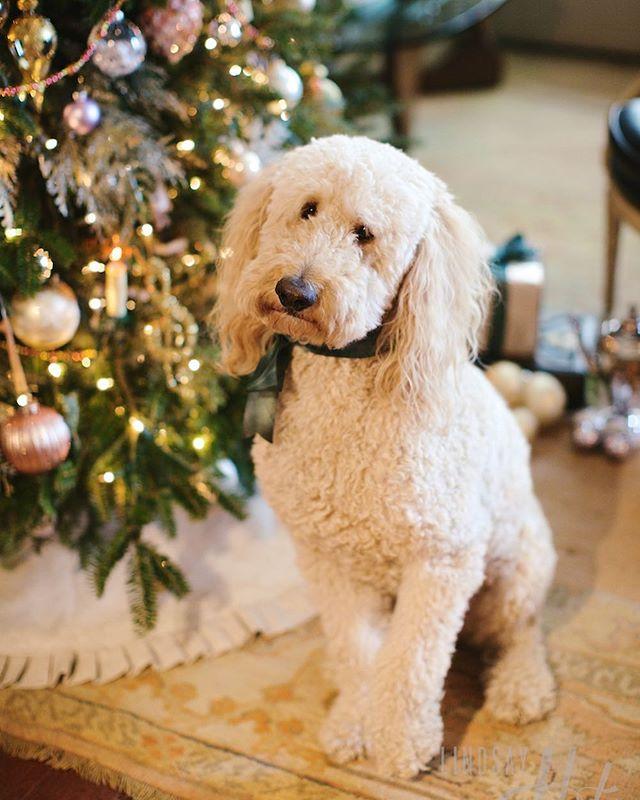 Wishing everyone a Happy New Year! 📷 @lindsayhite . . . . . #doodles #doodlesofinstagram #goldendoodle #lafite #goodboy #sittingpretty #furbaby #festive #holidayspirit #antiquerug #oushak #oushakrug #happynewyear #happynewyear2019 #celebration #tistheseason