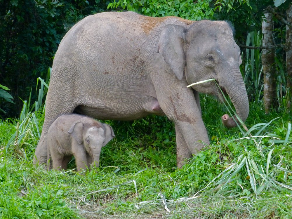 Pygmy_Elephants_(Elephas_maximus_borneensis)_mother_and_baby_(8074160345).jpg