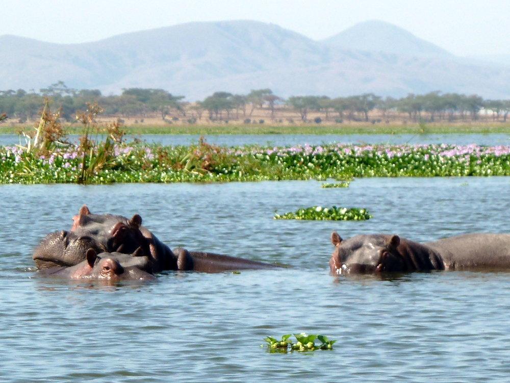 Lake Naivasha extraordinary biodiversity  Pic @wikicommons