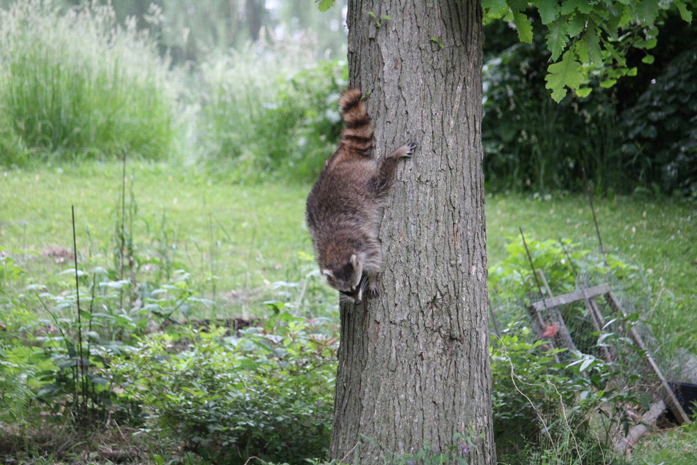 HA! Caught you! But, unlike raccoon visitors of the past, this one seems entirely herbivorous. As you were, neighbour.