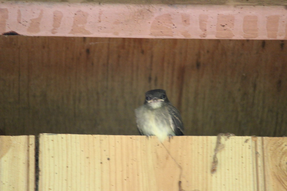 Eastern phoebe fledgling who got 'stuck' in the breezeway when I left the door open to bring in groceries. I propped the doors at both ends and eventually the parents managed to coax him/her out.