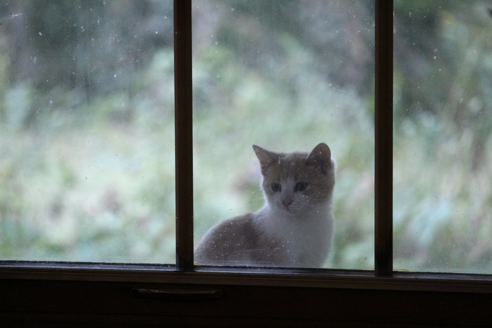 This is one of the 'feral' kittens who lives in the garage….letting me know that it's the supper hour (Please excuse my bleary windows :D — I'm not just making excuses for my slatternly behaviour when I say that I don't clean them in the summer because it disrupts the outdoor spiders)