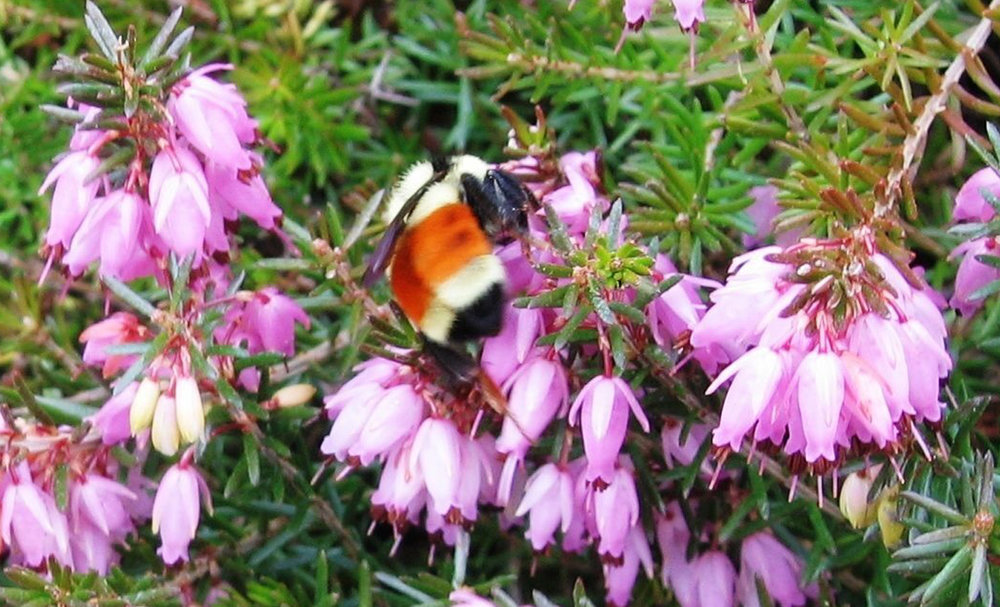 Bee in Heather