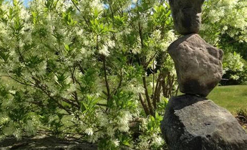 Fringetree