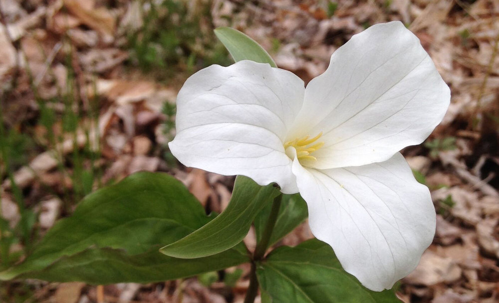 WW_Slideshow_whitetrillium.jpg