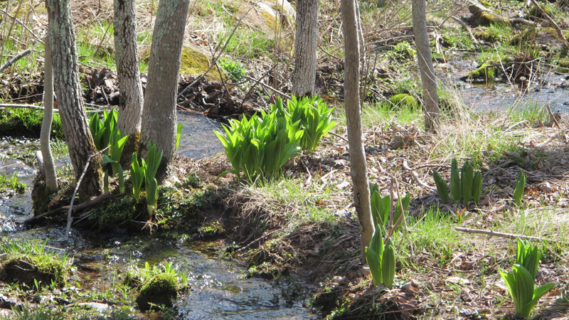 False helebores emerging during Spring thaw in Woodland Walk.