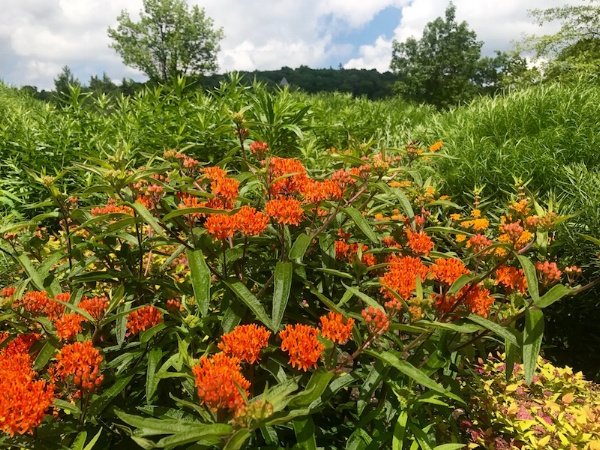 Asclepias tuberosa, butterfly weed, attracts monarchs to the West Meadow's Entrance.