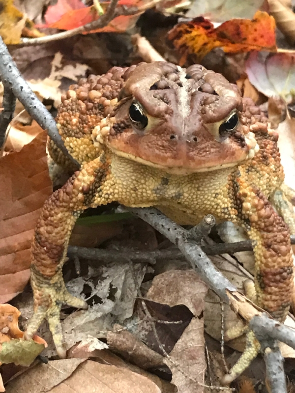 An American toad camouflaged in Fall leaves in Spruce Glen.