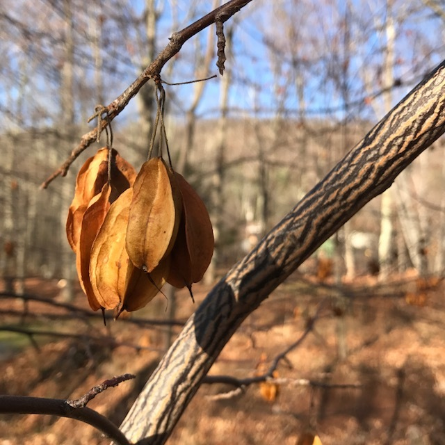 Carolina silverbell,  Halesia tetraptera , with striped bark and morning-lit seed capsules in Woodland Walk.