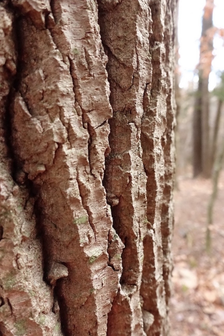 Winter is a time to examine closely.Bark of bigtooth aspen,  Populus grandidentata .