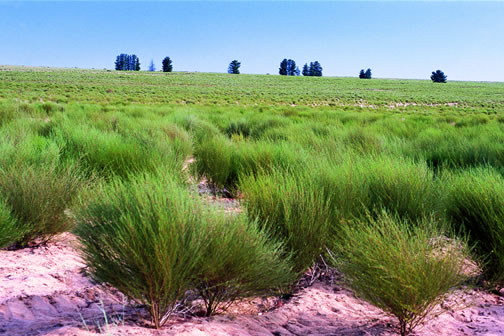 Rooibos plants.jpg