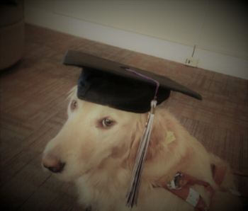 Image: Guide dog posing in handler's graduation cap. The dog is a golden retriever, and she is sitting with her body parallel to the camera, with her head turned regally toward the lens.