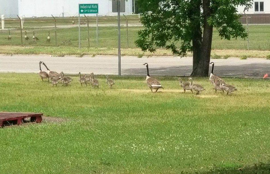The family of geese