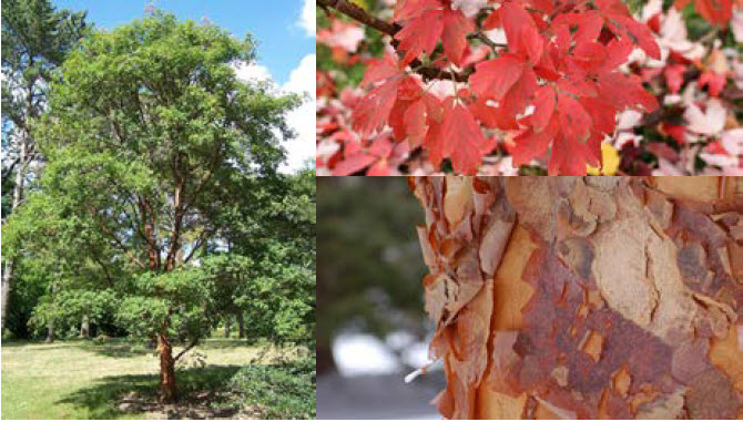 Acer griseumPaperbark maple - Mature size: 15-25' W x 20-30' HNotes: Attractive, cinnamon colored peeling bark; brilliant red fall color; medium sized tree at maturity