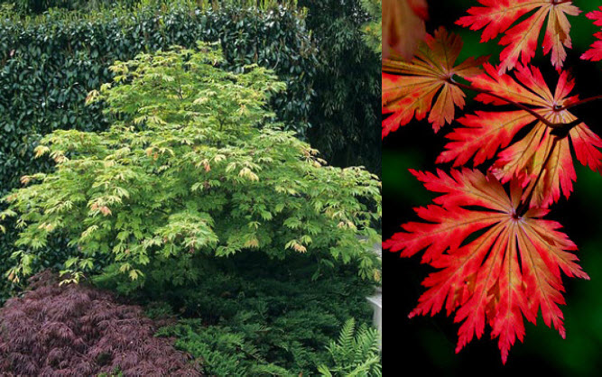 Acer japonicum 'Aconitifolium'Full moon Japanese maple -
