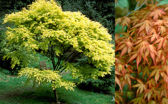 Acer palmatum 'Katsura'Katsura Japanese Maple - Mature size: 12' W x 15' HNotes: Upright, small tree with star shaped leaves; foliage emerges yellow-orange, maturing to a bright green; fall color in shades of yellow and orange